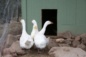 Goose, goose, duck, goose.